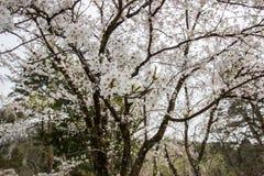 Flores de cerejeira inteiramente florescidas no distrito do samurai de Kakunodate, Akita, Tohoku, Japão na mola Imagem de Stock Royalty Free