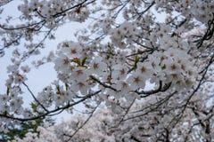 Flores de cerejeira inteiramente florescidas no distrito do samurai de Kakunodate, Akita, Tohoku, Japão na mola Imagens de Stock Royalty Free