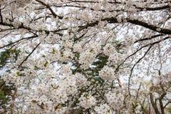 Flores de cerejeira inteiramente florescidas no distrito do samurai de Kakunodate, Akita, Tohoku, Japão na mola Foto de Stock Royalty Free