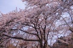 Flores de cerejeira inteiramente florescidas no distrito do samurai de Kakunodate, Akita, Tohoku, Japão na mola Fotos de Stock Royalty Free