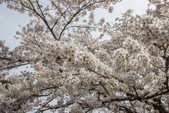 Flores de cerejeira inteiramente florescidas no distrito do samurai de Kakunodate, Akita, Tohoku, Japão na mola Fotografia de Stock