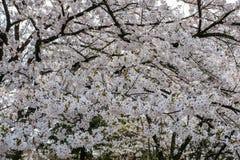 Flores de cerejeira inteiramente florescidas no distrito do samurai de Kakunodate, Akita, Tohoku, Japão na mola Imagem de Stock