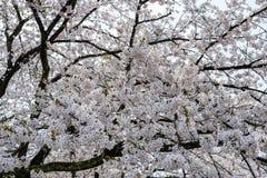 Flores de cerejeira inteiramente florescidas no distrito do samurai de Kakunodate, Akita, Tohoku, Japão na mola Fotografia de Stock Royalty Free