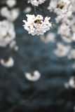 Flores de cerejeira japão Imagem de Stock Royalty Free