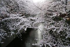 Japonês Sakura Cherry Blossoms & lanternas fotografia de stock