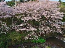 Flores de cerejeira na cidade de Nebukawa Imagem de Stock Royalty Free