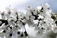 Flores de cerejeira na mola Imagem de Stock