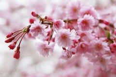 Flores de cerejeira na mola fotografia de stock