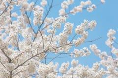 Flores de cerejeira na mola fotografia de stock royalty free