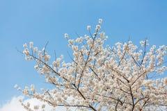 Flores de cerejeira na mola fotos de stock