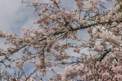 Flores de cerejeira na mola adiantada Fotografia de Stock