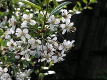 Flores de cerejeira na mola no fundo escuro Imagens de Stock