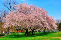 Flores de cerejeira na mola, Washington DC, EUA Foto de Stock