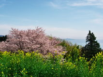 Flores de cerejeira no castelo de Ichiya das ruínas Fotografia de Stock