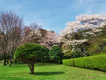 Flores de cerejeira no castelo de Ichiya das ruínas Fotos de Stock Royalty Free