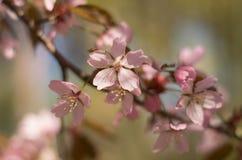 Flores de cerejeira no jardim imagens de stock