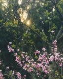Flores de cerejeira no nascer do sol fotografia de stock royalty free