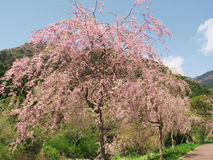 Flores de cerejeira no parque da montanha de Maku Fotografia de Stock Royalty Free