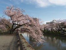 Flores de cerejeira no parque do castelo Fotos de Stock Royalty Free