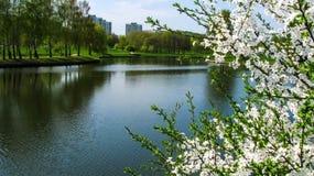 Flores de cerejeira pelo rio no parque da cidade imagens de stock