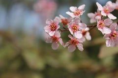 Flores de cerejeira selvagens cor-de-rosa imagens de stock royalty free