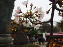 Flores de cerejeira de Yoshino no santuário de Toshogu do parque de Ueno fotografia de stock royalty free
