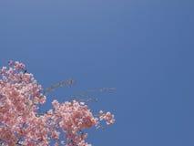 Flores de cereza Foto de archivo
