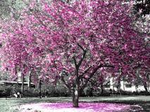 Flores de cereza Imagen de archivo