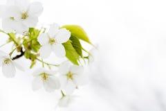 Flores de cereza blancos fotos de archivo