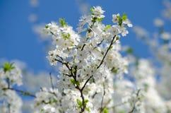 Flores de cereza blancos Fotos de archivo libres de regalías