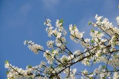 Flores de cereza blancos Imágenes de archivo libres de regalías