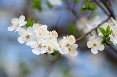 Flores de cereza blancos Imagen de archivo libre de regalías
