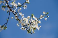 Flores de cereza blancos Imagen de archivo