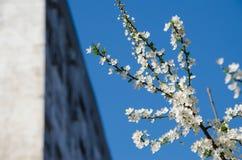 Flores de cereza blancos Fotografía de archivo libre de regalías