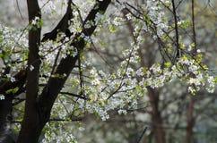 Flores de cereza blancos Foto de archivo