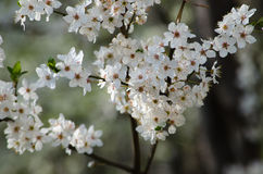 Flores de cereza blancos Imagenes de archivo