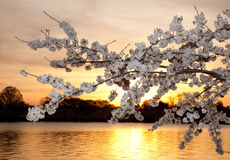 Flores de cereza contra puesta del sol Imágenes de archivo libres de regalías
