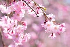 Flores de cereza de inclinación rosados fotografía de archivo