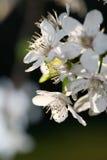 Flores de cereza de la primavera Imágenes de archivo libres de regalías