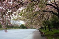 Flores de cereza de Sakura en el parque Fotos de archivo