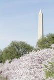 Flores de cereza de Washington Fotos de archivo libres de regalías