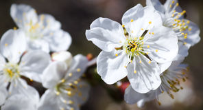 Flores de cereza del resorte Fotos de archivo