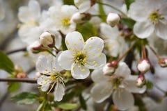 Flores de cereza del resorte Imagen de archivo libre de regalías