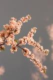 Flores de cereza del resorte Imágenes de archivo libres de regalías