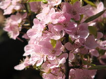 Flores de cereza en Canadá Imagenes de archivo