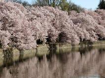 Flores de cereza en el lavabo de marea Imagenes de archivo