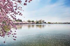 Flores de cereza en el monumento de Jefferson Imagen de archivo libre de regalías