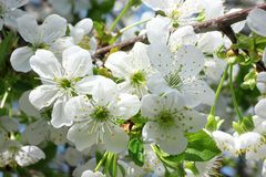 Flores de cereza en la macro Fotografía de archivo