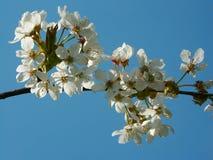 Flores de cereza en la plena floración Fotografía de archivo