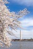 Flores de cereza en Washington DC Fotos de archivo libres de regalías